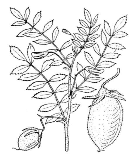 Cicer arietinum L.