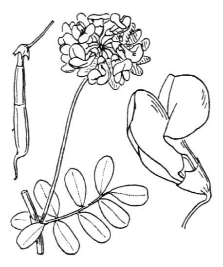 Coronilla coronata L.