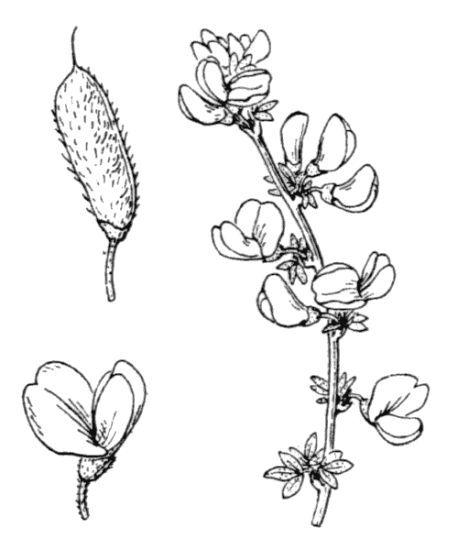 Cytisus ardoini E.Fourn.