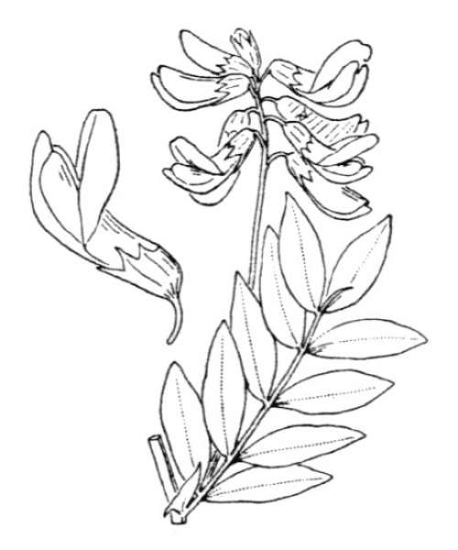 Lathyrus laevigatus (Waldst. & Kit.) Gren. subsp. occidentalis (Fisch. & C.A.Mey.) Breistr.