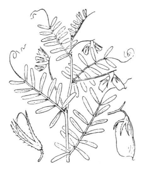 Vicia lens (L.) Coss. & Germ. subsp. lens