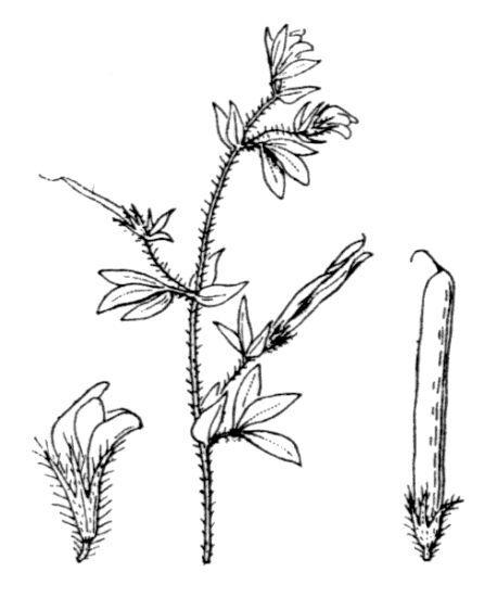Lotus angustissimus L.