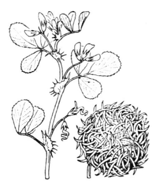 Medicago ciliaris (L.) All.