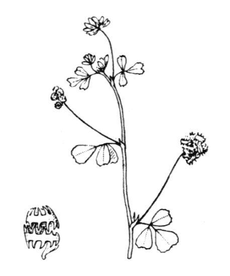 Medicago coronata (L.) Bartal.