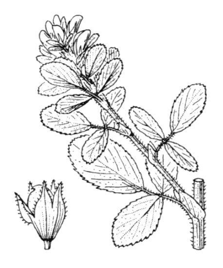 Ononis mitissima L.