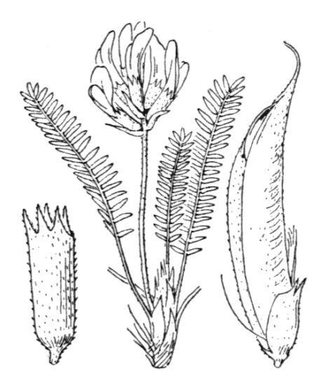 Oxytropis fetida (Vill.) DC.
