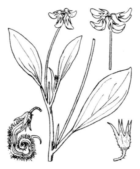 Scorpiurus subvillosus L.