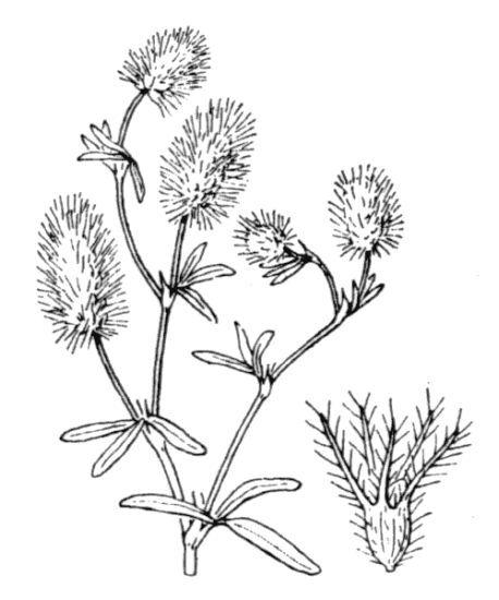 Trifolium arvense L. subsp. arvense
