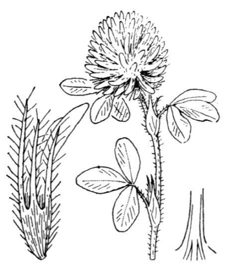 Trifolium diffusum Ehrh.