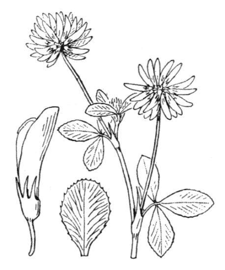 Trifolium hybridum L. subsp. elegans (Savi) Asch. & Graebn.