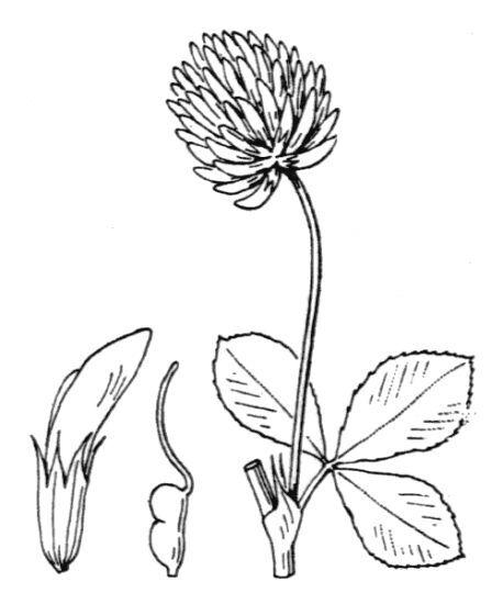 Trifolium isthmocarpum Brot. subsp. jaminianum (Boiss.) Murb.
