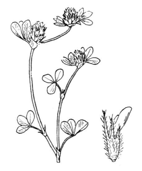 Trifolium lucanicum Gasp. ex Guss.