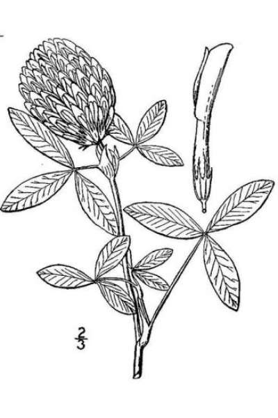 Trifolium medium L. subsp. medium