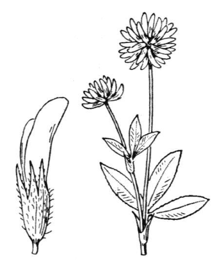 Trifolium montanum L. subsp. montanum