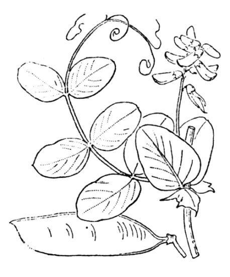Vicia pisiformis L.