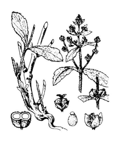 Mercurialis tomentosa L.