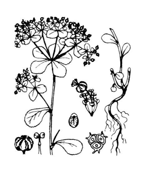 Euphorbia cuneifolia Guss.