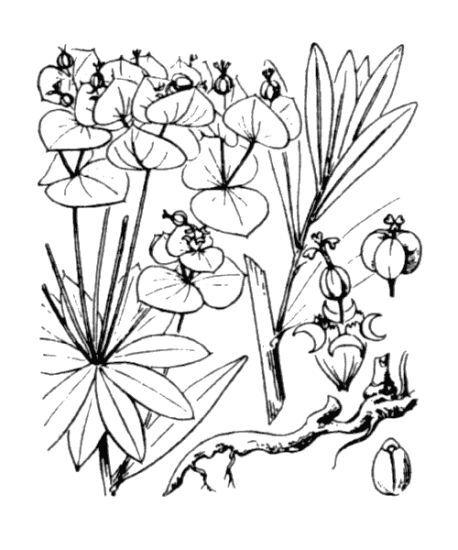 Euphorbia esula L. subsp. esula