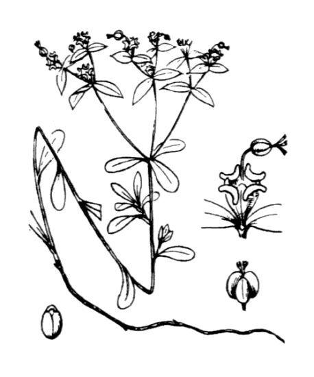 Euphorbia gayi Salis