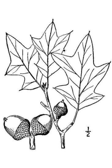 Quercus ilicifolia Wangenh.