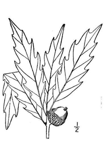 Quercus muehlenbergii Engelm.