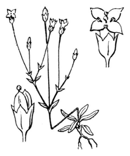 Cicendia filiformis (L.) Delarbre