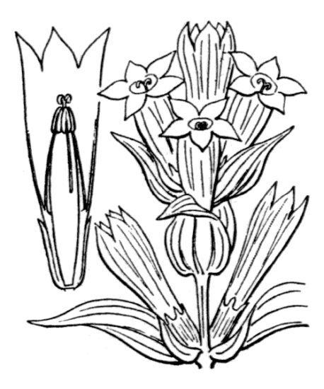 Gentiana asclepiadea L.