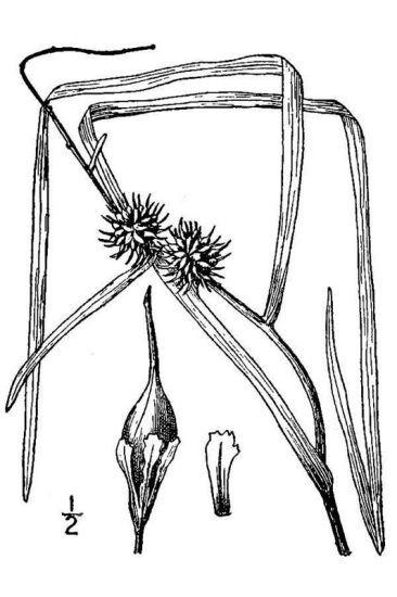 Sparganium emersum Rehmann subsp. fluitans (Gren. & Godr.) Arcang.