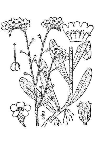 Myosotis scorpioides L. subsp. scorpioides