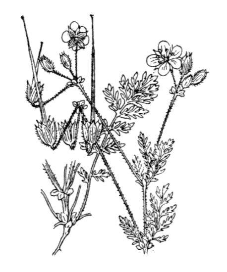 Erodium salzmannii Delile