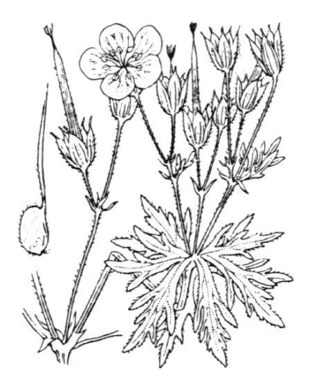 Geranium rivulare Vill.
