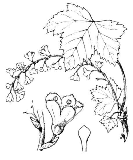 Ribes petraeum Wulfen
