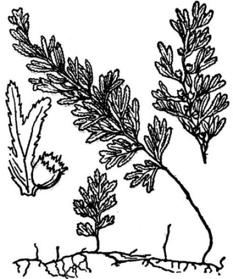 Hymenophyllum tunbrigense (L.) Sm.