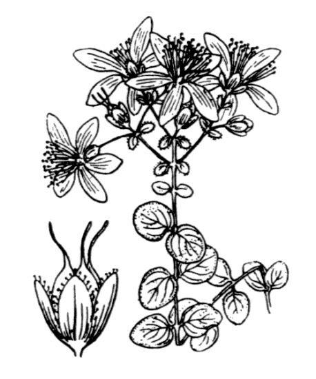 Hypericum nummularium L.