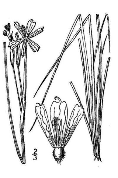 Sisyrinchium montanum Greene