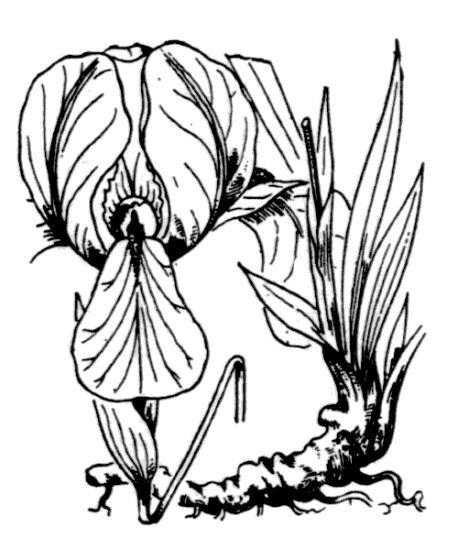 Iris lutescens Lam.