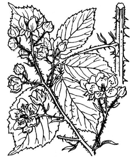 Rubus adscitus Genev.