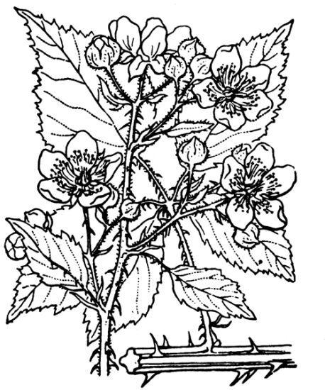 Rubus gremlii Focke
