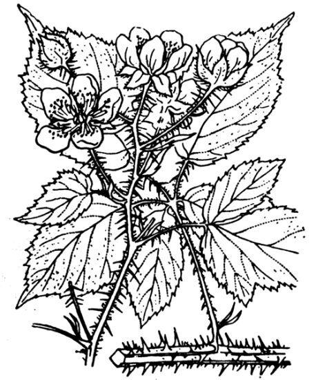 Rubus koehleri Weihe