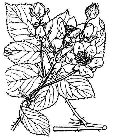 Rubus nessensis Hall subsp. nessensis
