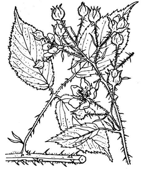 Rubus schleicheri Weihe ex Tratt.