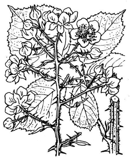 Rubus vestitus Weihe