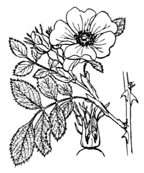Rosa inodora Fr.