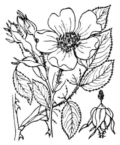 Rosa stylosa Desv.