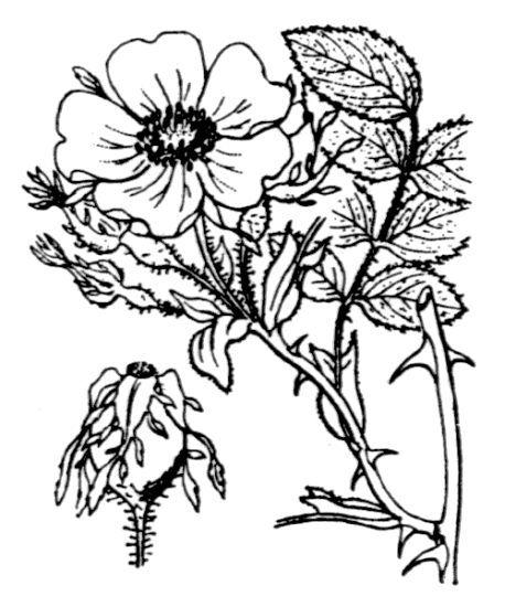 Rosa tomentosa Sm.