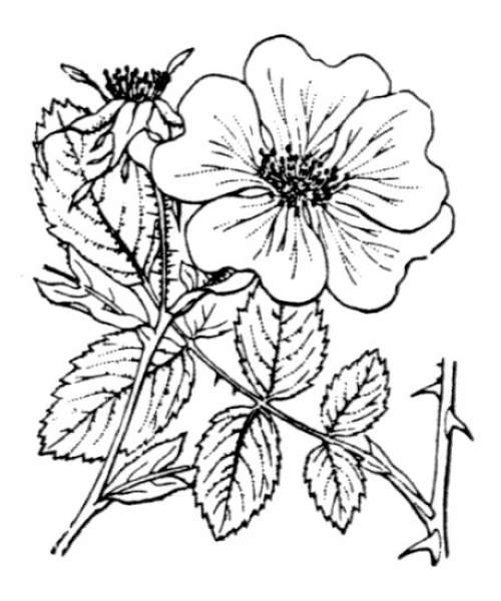 Rosa marginata Wallr.