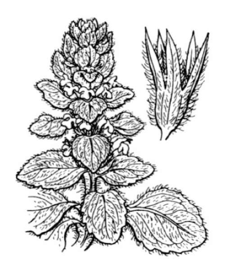 Ajuga pyramidalis L.