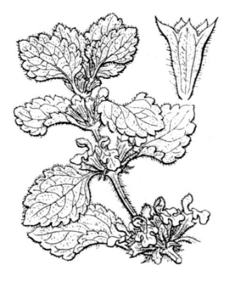 Ballota nigra L.