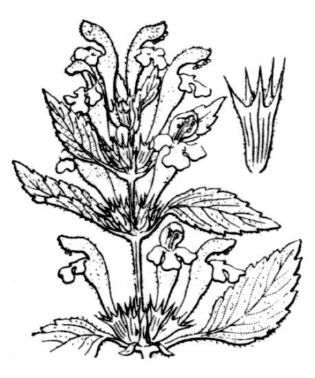 Galeopsis segetum Neck.