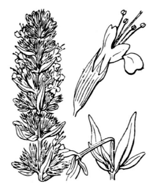 Hyssopus officinalis L. subsp. officinalis